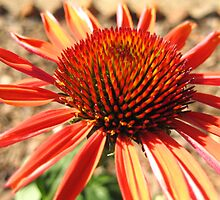 Echinacea Sundown by Walter Collazo