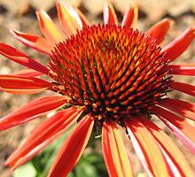 Echinacea Sundown by Walter Collazo