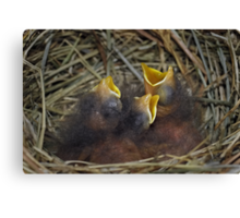 Baby bluebirds Canvas Print