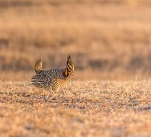 Prairie Chicken 2013-12.jpg by Thomas Young