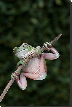 Green Tree Frog by Frank Yuwono