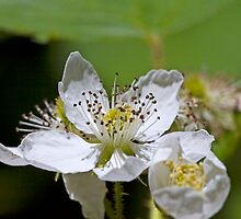Wildberry Blossoms by David Lampkins