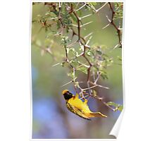 Southern Masked Weaver - Acrobatic Fun Poster