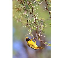 Southern Masked Weaver - Acrobatic Fun Photographic Print
