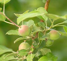 Green Apples by okcandids