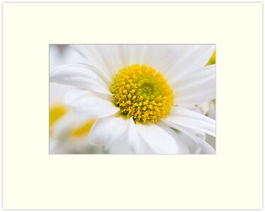 Fresh white Daisy by Michael Findlay