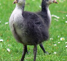 Two Coot Chicks by AARDVARK