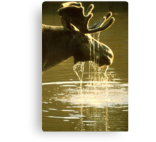 Moose Dipping His Head Into Water Canvas Print