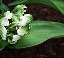 """Parkeit (Parrot) Tulip """"Super Parrot"""" by Alison Cornford-Matheson"""