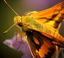 Moth on lavender by Siva Kumaran
