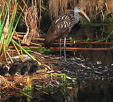 Limpkin and Chicks by kld73
