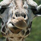 portrait of a giraffe by RichImage