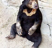 Malayan Sun Bear by Glenna Walker