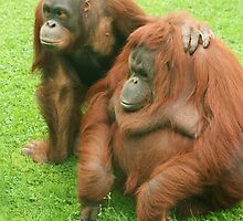 Orangutan friends by amjaywed