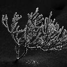 6.1.2015: Calluna Vulgaris at Winter II by Petri Volanen