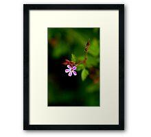Geranium Robertianum / Herb Robert Framed Print