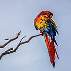 Macaw by DVJPhotography
