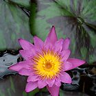 Pink Water Lily by kauaichelle