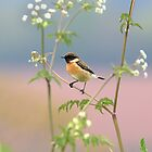 Stonechat by Neil Bygrave (NATURELENS)