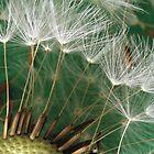 Dandelion Seeds by Esther Frieda