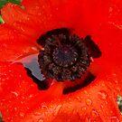Poppy (2) by lareejc