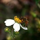 Bidens alba by MMerritt