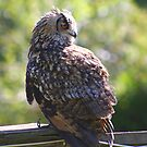 Eurasian Eagle Owl ( Adult ) by jdmphotography