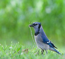 Bluejay in Nesting Season by Bonnie T.  Barry