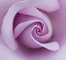 Sterling Silver rose closeup by Jeffrey  Sinnock