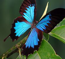 Ulysses Butterfly by JulieM