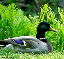 #354            Drake Mallard Duck by MyInnereyeMike