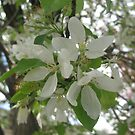 Apple Blossoms by coleen gudbranson