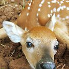 Newborn Fawn by Molly  Kinsey