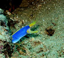 Blue Ribbon Eel by margielm