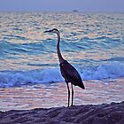 HERON AT SUNSET, CAPTIVA ISLAND, FLORIDA by DRON