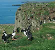 Puffins by Fiona MacNab