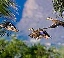 Mallards In Flight by Marvin Collins