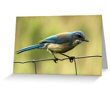 Western Scrub Jay Greeting Card