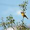 Bullock's Oriole - Tree Top by Ryan Houston