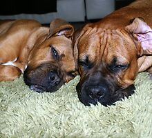 Bullmastiff Twin Brothers  by ANTHONYMCGRATH