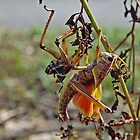 Lubber Grasshopper Adult by joeschmoe96