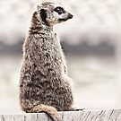 Meerkat Lookout by Vicki Field