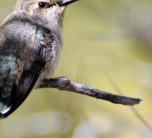 Young Hummingbird Perched Sticker