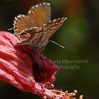 Butterfly by Kayla Chesterfield