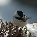 Chickadee by JTrask