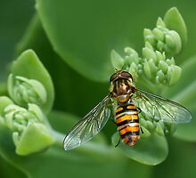 Hoverfly (Syrphus ribesti) on Sedum spectabile by dotcomjohnny