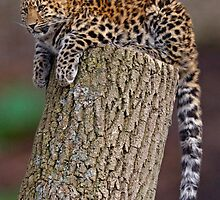 A Leopard's Tail by Krys Bailey