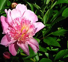 Pink Peony by IndyLady