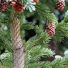 The Pines by Terri Waughtel
