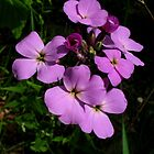 native phlox by foozma73